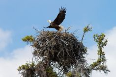 The largest bald eagle nest on record was 20 feet high and weighed two tons. Indian Animals, Eagle Hunting, Eagle Pictures, What Is A Bird, Eagle Nest, Living In Alaska, Kinds Of Birds, Animal Facts, Native American Indians