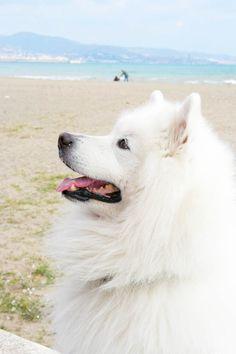 Samoyed like my dog Kelsey