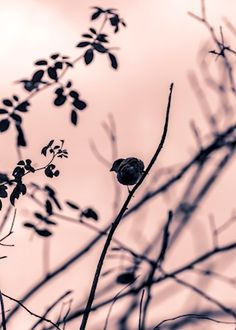 Gorgeous pink and black photograph of a bird in the trees. Photographer Henrik Andersson, available as poster at printler.com, the marketplace for photo art.