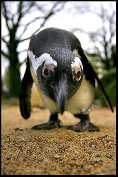 Just got that email from friends, funny-looking birds. Penguins And Polar Bears, Cute Penguins, Nature Animals, Animals And Pets, Beautiful Birds, Animals Beautiful, Cute Baby Animals, Funny Animals, Penguin Love