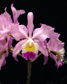 Beautiful Cattleya