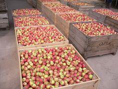 Bins of freshly picked pink lady apples