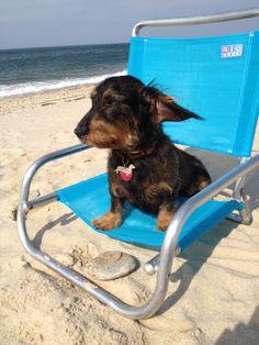 Teckel enjoying the beach Er wird sicher das Strandleben geniessen! Dachshund Puppies, Dachshund Love, Dogs And Puppies, Weiner Dogs, Dapple Dachshund, Wire Haired Dachshund, Daschund, Scottish Terrier, I Love Dogs