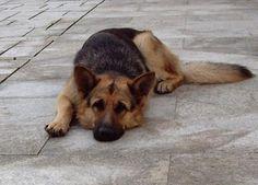 Linda. Mi primera perra. PASTOR ALEMAN HEMBRA