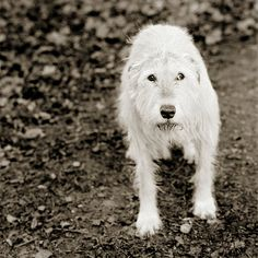 <3  by Isa Leshko - Kelly, Irish Wolfhound, Age 11
