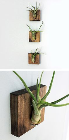 No green thumb? No worries. Bring a little green into your home with these mounted air plants. Hanging on beautiful walnut stained wood, the aerophyte plants require no soil. Simply mist lightly once w...  Find the Mounted Air Plants - Set of 3, as seen in the Live Plants Collection at http://dotandbo.com/category/outdoor/plants-and-terrariums/live-plants?utm_source=pinterest&utm_medium=organic&db_sku=DNB0373