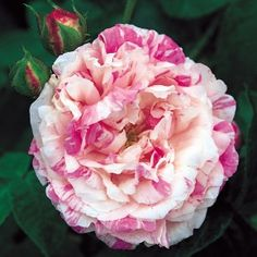 Cottage Maid. Large, full, globular, creamy white blooms, delicately striped pale pink. Rich fragrance. A bushy, thorny shrub.