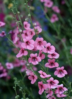 Plants Of The Diascia Family Are Low Growing Half Hardy Annuals Or Perennials