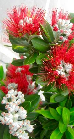 A pohutukawa flowering in Coromandel town, North Island, New Zealand. Often thought of as New Zealand's Christmas tree, they flower around this time, adding colour & charm ~ Unusual Flowers, Amazing Flowers, Beautiful Flowers, New Zealand Landscape, Albizia Julibrissin, Growing Tree, Tropical Flowers, Native Plants, Planting Flowers