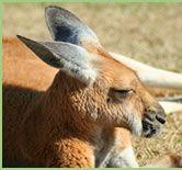 Red Kangaroo Info