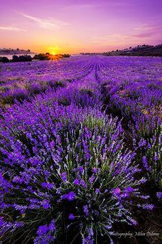 "🇧🇬 colour-my-world: ""Lavender Field by Milen Dobrev in Bulgaria"""