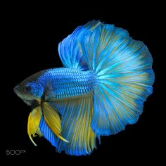 Blue-Yellow Betta Fish in Black Backgroun - A steady shot of blue-yellow betta…