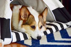 A Corgi A Day • First day back after a long weekend = calling out...