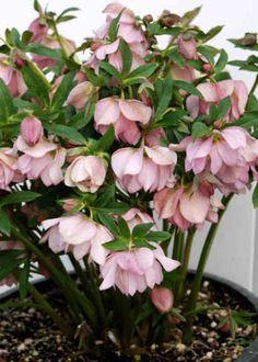 Helleborus Winter Jewels 'Cotton Candy'