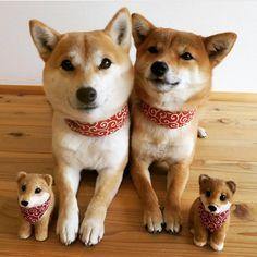 家族 x4 ❤️FamilyBy @anne0615.karin0818'#shibainupuppy #proudshibas #柴 #柴犬 #shiba #shibainu #shibastagram #shibadog #shibainumania #dog #doge #dogsofinstagram #dogoftheday #puppy #dogs_of_instagram #pet #pets #petstagram #dogsitting #photooftheday #instadog #dogoftheday #adorable #doglover #instapuppy #pup #cute #animals #animal #weeklyfluff #ilovemydog #Regram via @proudshibas