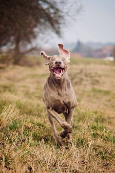Insanely happy Weim.