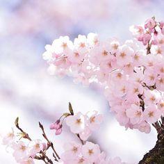 #写真好きな人と繋がりたい #写真撮ってる人と繋がりたい #カメラ好きな人と繋がりたい #ファインダー越しの私の世界 #nikon #ニコン #ニコン倶楽部 #美しい #beautiful #cools_japan #東京カメラ部 #japan #一眼レフ #d810 #landscape #風景 #naturephotography #nature #春 #spring #sakura #cherryblossom #桜 #さくら #花 #flower #instagood #instagram #photo