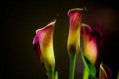 Cala Lillies by john m flores, via Flickr