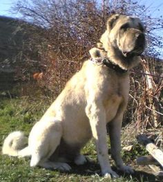 Turkish Dog: ''Kangal'' it is the most strong and fearless dogs in the world.