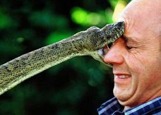 Reptile tamer Peter Morningstar is bitten in the face by a carpet snake. Ouch!