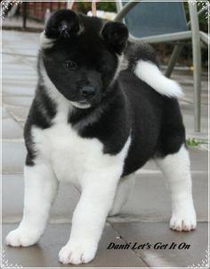 Adorable black and white Akita puppy