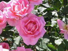 Google Image Result for http://catefneely.files.wordpress.com/2010/05/roses-in-a-garden.jpg
