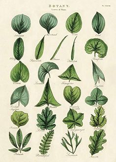 Cavallini & Co. Botany Leaves Decorative Paper Sheet, Luxury Italian archival paper stock By Cavallini Co From USA - Wal Vintage Botanical Prints, Botanical Drawings, Botanical Art, Vintage Prints, Vintage Art Posters, Floral Posters, Vintage Wall Art, Vintage Botanical Illustration, Vintage Drawing