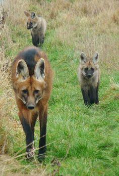 lobo-guara-animais-do-cerrado-brasileiro