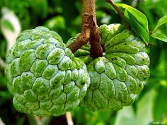 Custard apple tree is not particularly attractive. Custard apples prefer deep, rich soil, which is sufficient humid and good drainage.