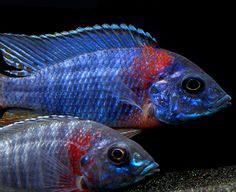 Offering Peacock Cichlid Fish for Sale every day at great prices. Find a list of Peacock Cichlid Types to help in identifying and collecting African Cichlids from Lake Malawi. Tropical Freshwater Fish, Freshwater Aquarium, Tropical Fish, Aquarium Fish, Tropical Aquarium, Malawi Cichlids, African Cichlids, Weird Looking Animals, Cichlid Fish