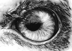 how to draw eagles | Eagle's eye in pencil by KoKosasih