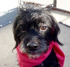 LOLA - A1098364 - - Manhattan  Please Share:TO BE DESTROYED 12/05/16 **NEEDS A NEW HOPE RESCUE TO PULL** -  Click for info & Current Status: http://nycdogs.urgentpodr.org/lola-a1098364/