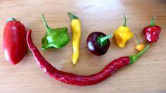 Paprika und Chili säen: Wann, Schritt-für-Schritt-Anleitung und Pflege » Paprika und Chili säen ist wirklich einfach. Und die Auswahl an Sa ...