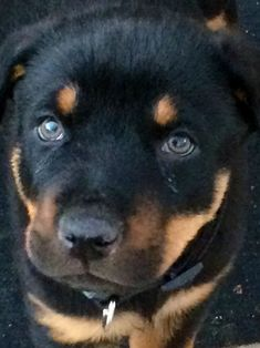 I remember when my bubby looked like this. <3 #Rottweiler #pup