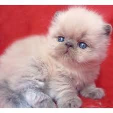 gatos de raca persa - Pesquisa do Google