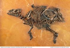 Mind-Blowing Fossil Preserves Tiny Horse Carrying Unborn Foal Eurohippus mare and foal The former shale mining site of Messel, near Frankfurt, is well known for its spectacular fossils that lived between 47 & 48 million years ago, during the Eocene . But a fossil of the early horse species Eurohippus messelensis, SEE: Society of Vertebrate Paleontology , is spectacular