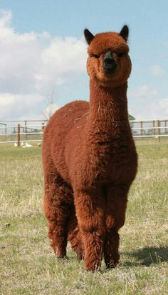 Glorious Alpaca ❤