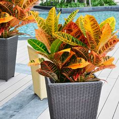 Croton Plant Care: Tips on How to Grow and Care for Croton Plants - Modern Design Indoor Garden, Garden Plants, Indoor Plants, Tropical Garden Design, Tropical Plants, Croton Plant Care, Snake Plant Care, Chlorophytum, Belle Plante