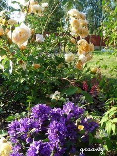 růže Graham Thomas a zvonek klubkatý, campanula glomerata, lovely yellow and deep blue