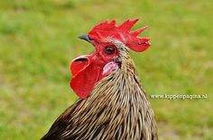 www.kippenpagina.nl Chickens, Roosters, Hens, Chicks, Poultry, Pluimvee, Kippen, Hanen, Kuikens, Fowl.
