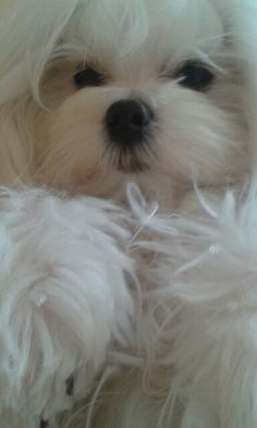 Such an awesome litt Such an awesome little Maltese. Little Puppies, Baby Puppies, Little Dogs, Cute Puppies, Cute Dogs, Dogs And Puppies, Dog Photos, Dog Pictures, Animal Pictures