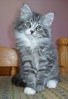 Luna , chaton Norvégien
