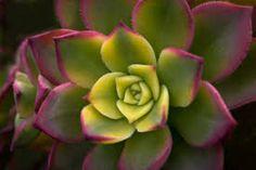 Guía de Cactus y Crasas (pág. 2) | Cuidar de tus plantas es facilisimo.com Aeonium kiwi