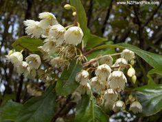 ELAEOCARPUS FLOWERS - HINAU FLOWERS - HINAU DRUPES
