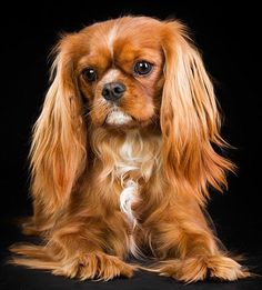 The traits we admire about the Smart Cavalier King Charles Spaniel King Charles Puppy, Cavalier King Charles Dog, King Charles Spaniel, Spaniel Breeds, Spaniel Dog, Dog Breeds, Spaniels, Dog Competitions, Puppy Mix