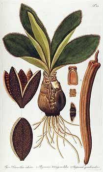 58806 Dolichandra quadrivalvis (Jacq.) L.G.Lohmann [as Bignonia quadrivalvis Jacq.]  / Jacquin, N.J. von, Fragmenta botanica, figuris coloratis illustrata, t. 40 (1809)