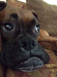 Brody the boxer @rmbkbbb