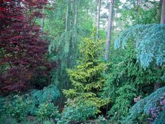 Creating Spring Color With Japanese Maples and Conifers in My Garden