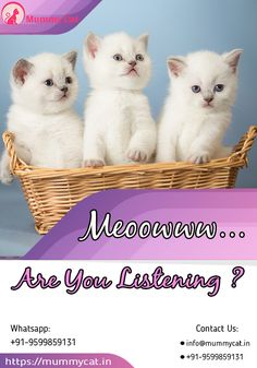 Persian cat or kitten for sale in Delhi, Chennai and Kerala. Persian cat price in India is very reasonable at Mummy Cat. We also offer Persian cat in different colors. White Kittens For Sale, Ragdoll Kittens For Sale, Black And White Kittens, Kitten For Sale, Baby Kittens, Cats And Kittens, Persian Cat Price, Persian Cats For Sale, Persian Cat Breeders