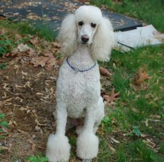 Lacey my standard poodle